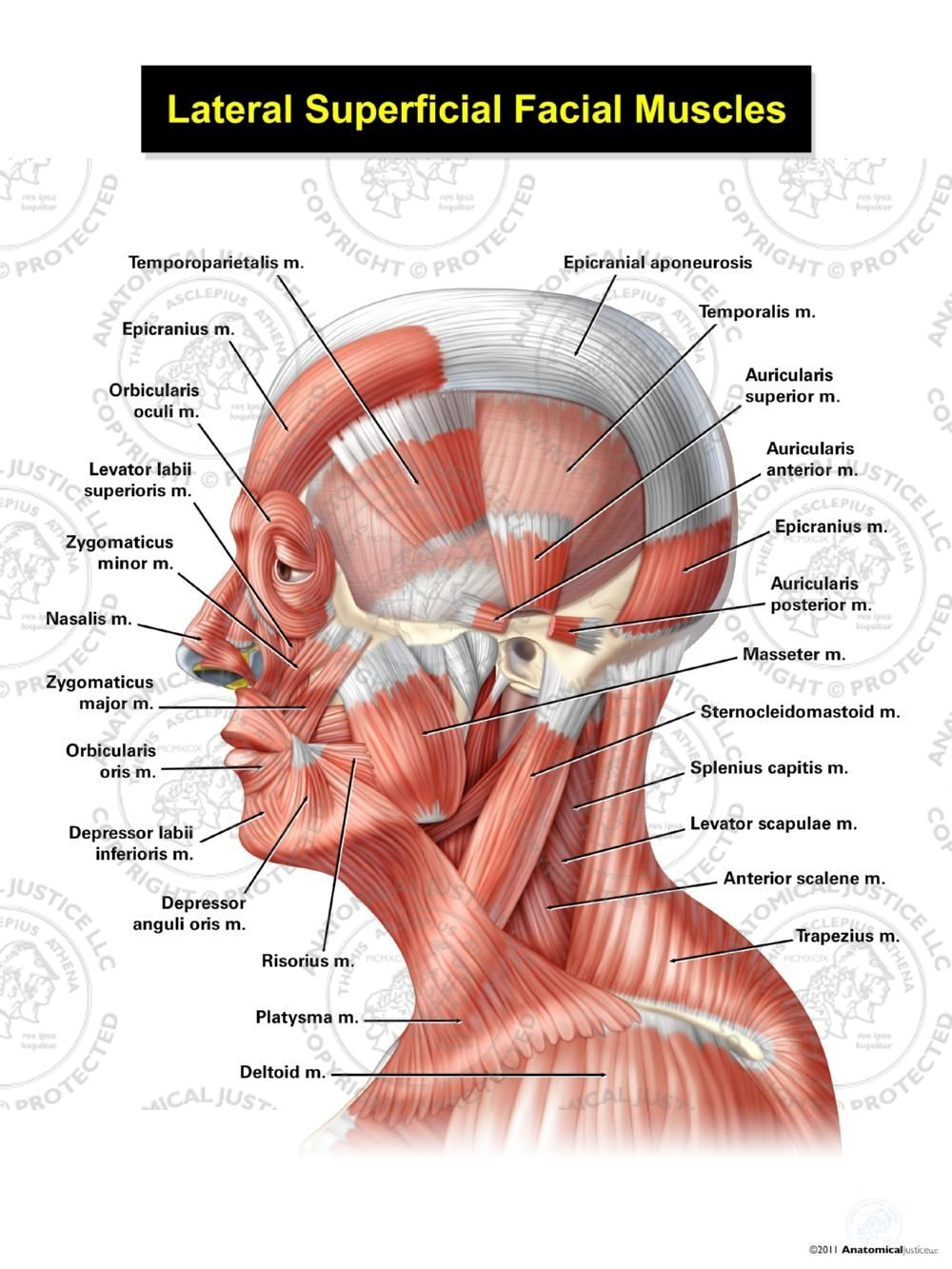 Lateral Superficial Facial Muscles Anatomical Justice