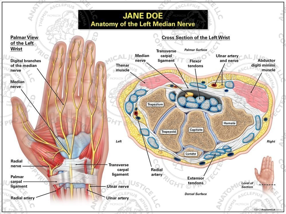Anatomy Of The Left Median Nerve Anatomical Justice