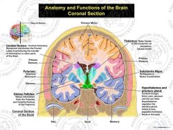 coronal anatomy and functions of the brain.
