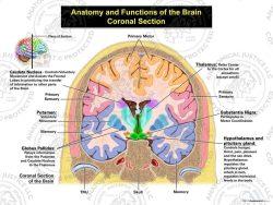 coronal anatomy and functions of the brain.
