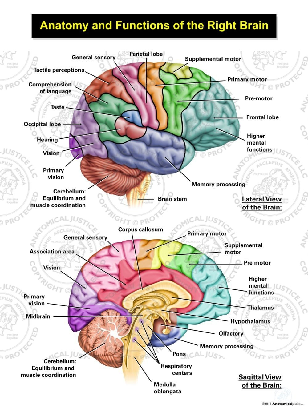 Anatomy And Functions Of The Right Brain Anatomical Justice
