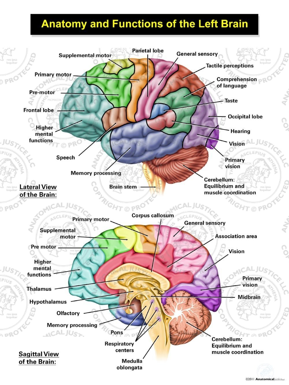 Anatomy And Functions Of The Left Brain Illustration