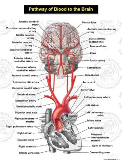 Pathway of Blood to the Brain