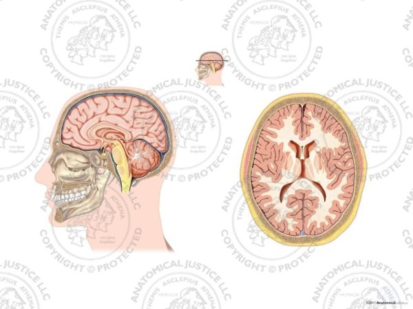 Sagittal and Axial Anatomy Section of the Brain