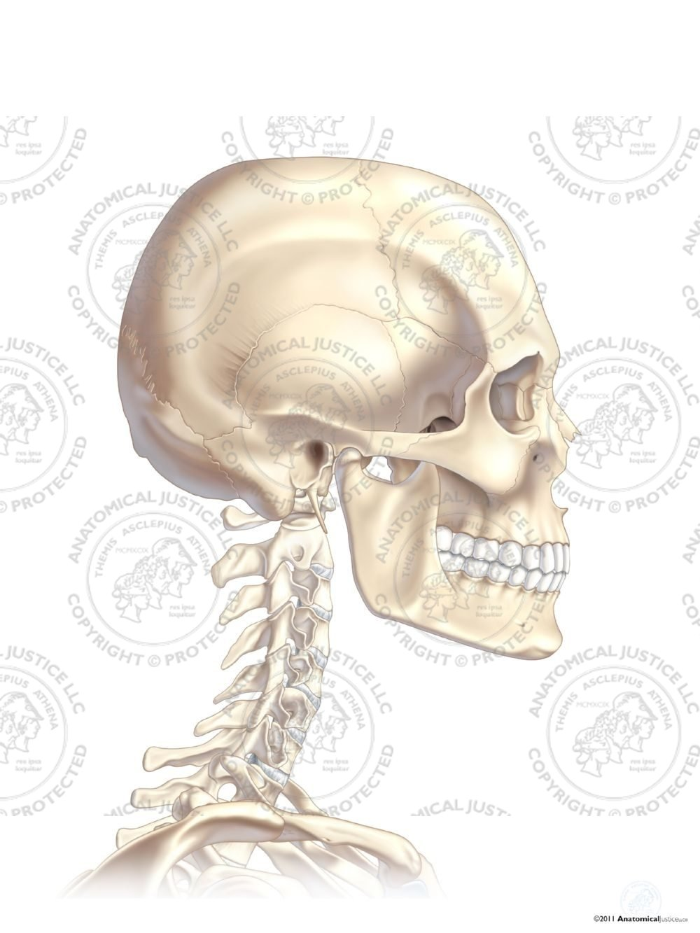 Right Lateral Skull And Neck No Text Anatomical Justice