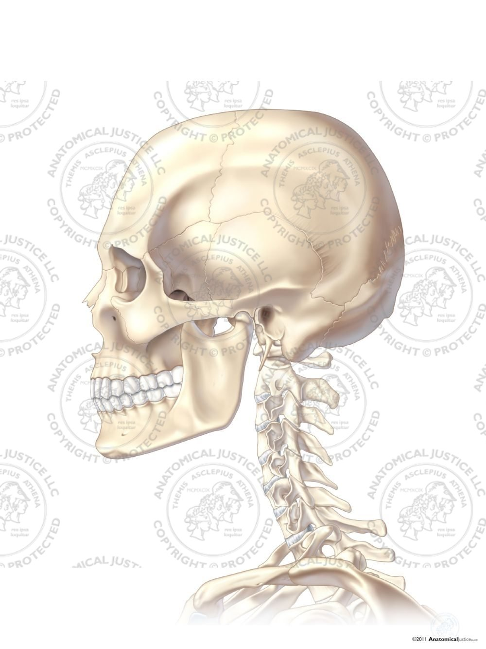 Left Lateral Skull And Neck No Text Anatomical Justice