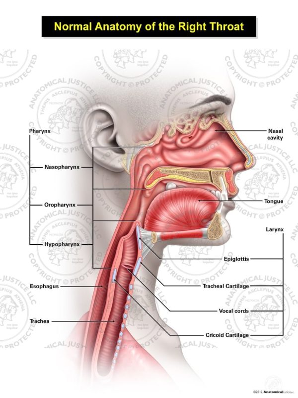 Normal Female Anatomy of the Right Throat