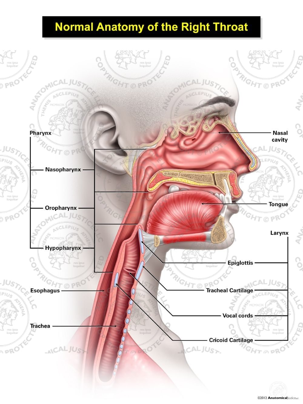Normal    Female    Anatomy of the Right Throat Illustration