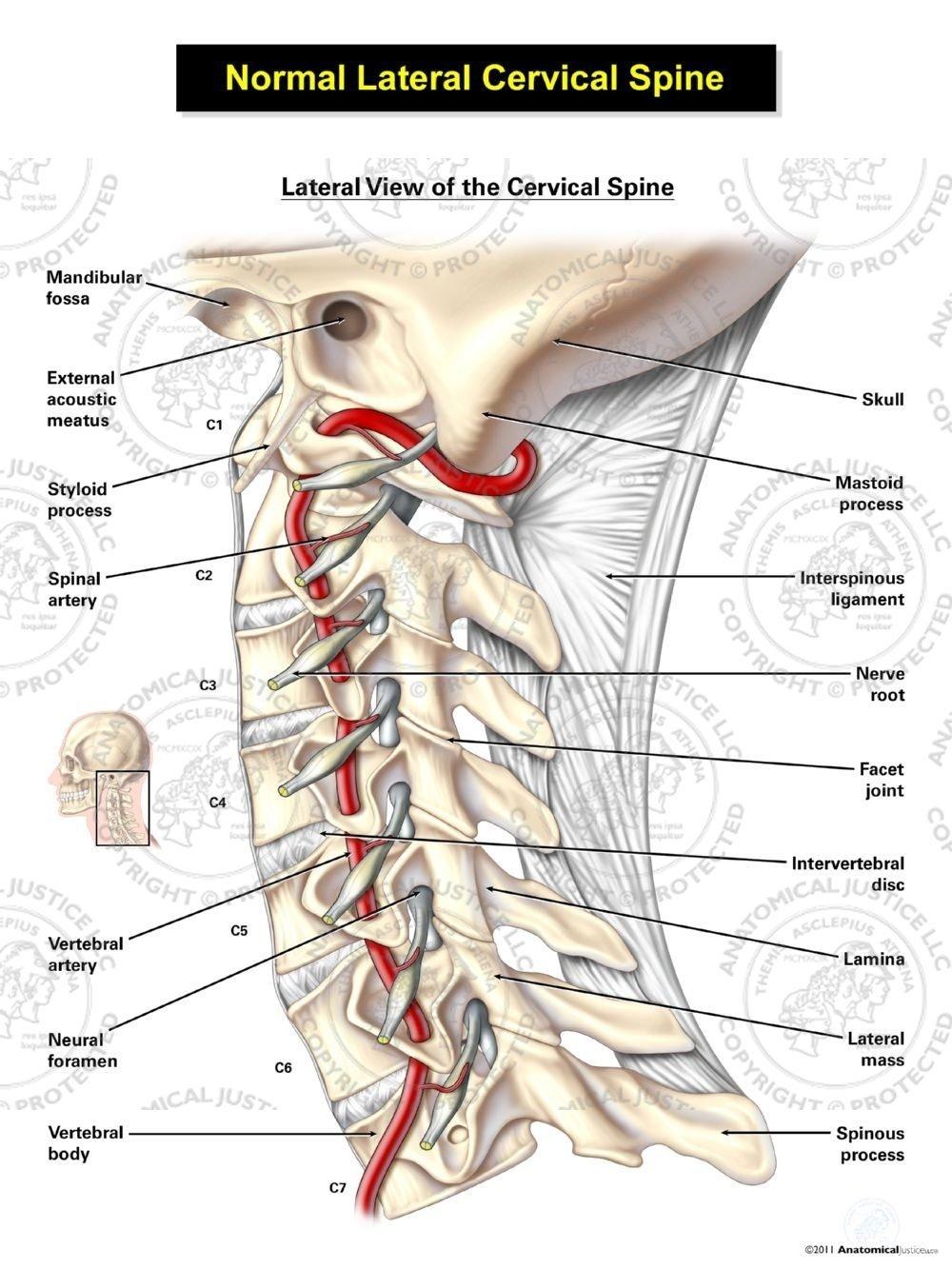 Cervical Spine Artery Tollebild