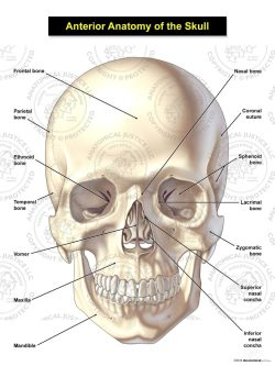 anterior anatomy of the adult skull