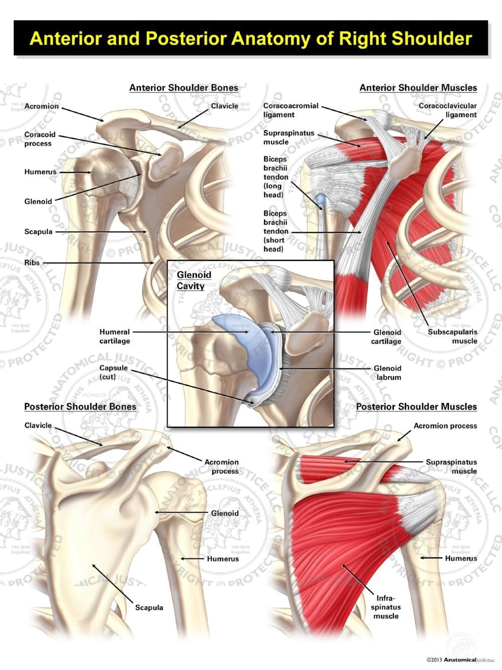Anterior And Posterior Anatomy Of The Right Shoulder Anatomical