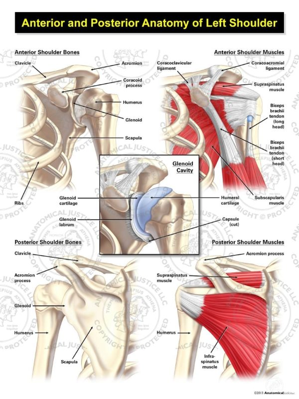 anterior and posterior anatomy of the shoulder