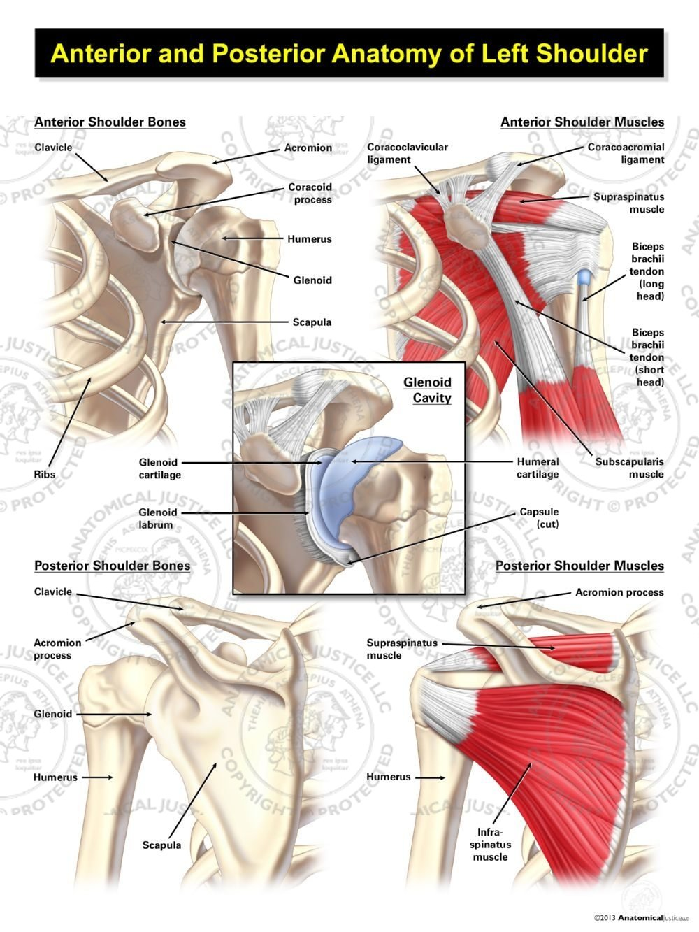Anterior And Posterior Anatomy Of The Left Shoulder Anatomical Justice